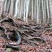 Wurzeltreppen erleichtern den Aufstieg im steilen und schmierigen Gelände enorm