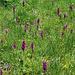 Orchideenfeld am Wegrand