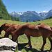 Anmutige Pferde weiden bei Plan Champatsch