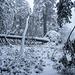 """Die schöne Waldpassage kurz vor dem Dreifürstenstein am südöstlichen Hang der Hornsgrinde: Die umgestürzte Fichte hinten habe ich vor fast exakt einem Jahr (ebenfalls zum erste Schnee) """"live"""" umstürzen hören. Ich war ca. 70 m entfernt und eigentlich ziemlich dumm, bei stürmischen Wetter dort hoch zu gehen. Den allerobersten Fichten-Zapfen von ihrer Spitze habe ich mir dann zum Aussäen mitgenommen. Einen eigene Tourenbericht dazu gibt es [https://www.hikr.org/tour/post148651.html hier.]"""