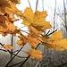 Letztes Sonnenlicht fällt auf Ahornblätter