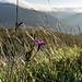 Oben auf dem Burgfelsen finden sich Grasflächen. Dort wächst dieses zarte Geschöpf, eine Nelkenart. Aber welche? Ist es die Feldnelke (Dianthus carthusianorum  L.)?