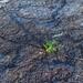 Unverwüstlich: Grasssprössling auf dem Hüttentisch