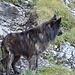 Artus der Wolf.