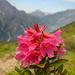 Eine weitere Alpenrosenstudie