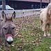 Esel und Pony warten auf die bald einsetzende Dunkelheit - dann können sie sich gute Nacht sagen