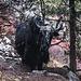 Einsames Yak im Wald