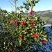 Kleine Stechpalme mit vielen Früchten