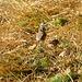 European crested tit / Haubenmeise / Lophophanes cristatus