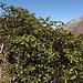 im Frühling wird es hier wohl so richtig farblich explodieren - riesige Rhododendron-Büsche