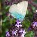 Eine der zahlreichen Schmetterlinge - ein Brombeer-Zipfelfalter, wie [u chaeppi] festhielt. Vielen Dank!