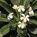 Tag 6 (29.12.) - كتارا (Katārā):<br /><br />Blüten vom wunderschönen kleinen Baum der Westindischen Frangipani (Plumeria alba) an der Promenade.
