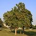 Tag 6 (29.12.) - كتارا (Katārā):<br /><br />Blühender Jasminbaum (Millingtonia hortensis), dessen lieblichsüssen Blütenduft ich schon aus huntert Meter Entfernung riechen konnte