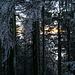 Aber größtenteils schimmert das gelbe Abendlicht nun durch den dunklen Tann und seinen blau gefrosteten Nadelbäumen hindurch.