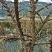 ulmus campestre (ulmus minor) agno fiume vedeggio