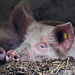 Glückliche Schweine - diese habe ich zu früheren Zeiten auch schon auf der grossen Wiese unter der Schlosshöchi angetroffen.