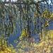 Herbst im Arvenwald