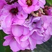 Bergenia, senza profumo, ma sensazionali fioriture colorate invernali, anche ad altitudini di mille metri, attorno alla mia cascina!