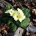 Primula acaulis (L.) L.<br />Primulaceae<br /><br />Primula comune, Primavera<br />Primevère acaule<br />Stängellose Schlüsselblume, Schaftlose Primel