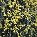 ich glaube Winterjasmin (Jasminum nudiflorum)