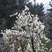 Gemeine Waldrebe (Clematis vitalba)