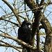 Rabenkrähe (Corvus corone corone)