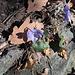 Veilchen blühen zuhauf