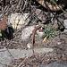 Eine Zauneidechse sonnt sich