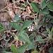 Potentilla micrantha DC<br />Rosaceae<br /><br />Cinquefoglie fragola secca<br />Potentille à petites fleurs<br />Kleinblütiges Fingerkraut