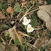 Crocus albiflorus Kit.<br />Iridaceae<br /><br />Croco bianco, Zafferano alpino<br />Crocus du printemps<br />Frühlings-Safran, Frühlings-Krokus