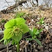 Helleborus viridis L.<br />Ranunculaceae<br /><br />Elleboro verde<br />Hellébore vert<br />Grüne Nieswurz