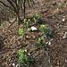 Helleborus foetidus L.<br />Ranuncolaceae<br /><br />Elleboro puzzolente<br />Hellébore fétide<br />Stinkende Nieswurz