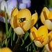 Der Vorfrühling ist in Frenkendorf in meinem Garten angekommen. Der eher zu warme Winter ist herrlich.  Im Krokus ist eine Goldfliege (Lucilia sericata) die sich neben Aas auch von Pollen und Nektar ernährt, aber üblicherweise - anders als dieses Jahr- erst ab Ende März in der Natur zu sehen ist.