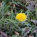 Dem ersten blühende Löwenzahn (Taraxacum officinale) in diesem Jahr Mitte Februar den ich gesehen habe. Jetzt kann endgültig der Frühling kommen!