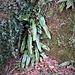 Phyllitis scolopendrium (L.) Newman<br />Aspleniaceae<br /><br />Scolopendria comune, Lingua cervina<br />Langue de cerf<br />Hirschzunge