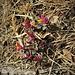 Polygala Chamaebuxus L: Polygalaceae  Poligala falso bosso Polygale petit buis Buchsblättrige Kreuzblume