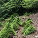 """Am Ende des Wegs entdecke ich diese seltsam gewachsenen """"Bonsai-Fichten"""". Oder besser: Fichtel-Wichtel? Ihre lustige Wuchsform ist Resultat des beständigen Abknabberns ihrer jungen Triebe durch Gemsen, so erfahre ich später. Gemsen wurden in den 30er Jahren rund um den Feldberg und das nahe Herzogenhorn ausgewildert. Im Naturschutzgebiet des Gletschkessels Präg fühlen sie sich sicher sehr wohl.  Auf dem Rückweg sehe ich unterhalb in einem steilen Hang eine ganze Gemsen-Familie geschwind und geschickt durch die Bäume vor mir fliehen."""