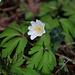 Erst Frühlingsboten im Wald von Muttenz: Buschwindröschen (Anemone nemorosa).