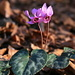 Cyclamen purpurascens (Europäisches Alpenveilchen). I thought these plants don't naturally grow outdoors in northern Switzerland, but I guess the forests above Quinten have almost Mediterranean climate.