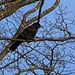 Rabenkrähe (Corvus corone).