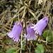 Kleines Alpenglöckchen (Soldanella alpicola)