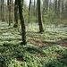 Der hier relativ trockene Waldboden ist dicht mit blühenden Anemonen bedeckt.