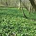 Weil das Horberloch eine feuchte Gegend ist, ist hier der Boden im Frühjahr dicht mit Bärlauch bewachsen.