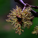 Schön und vom Allergikern gehasst: Männlich Blüte der Gemeinen Esche (Fraxinus excelsior) .