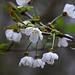 Blühende Vogelkirsche (Prunus avium) im Wald vom Alteberg.