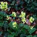 Hohe Schlüsselblume (Primula elatior) im Wald vom Elbisberg.