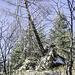 """Schräge Kombi: eine recht ramponierte Birke, die auf dem Wurzelteller eines umgestürzten Baums wurzelt.<br />Wir sind jetzt auf dem """"1000-Meter-Weg"""". Er führt von der Zuflucht bis zum Vogelskopf/Ruhestein circa auf der 1000-Meter-Höhenlinie entlang auch um den Melkereikopf herum ..."""