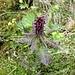 """<b>Pedicolaria mozzata (Pedicularis recutita)</b>.<br />Dal latino """"pedicularis""""=""""pidocchio"""". Queste piante pare li facciano morire, ed è in questo senso che fu adottato il nome da Linneo."""