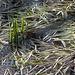 an einem saisonalen Tümpel oder gefluteten Wiese