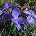 Violette / Veilchen